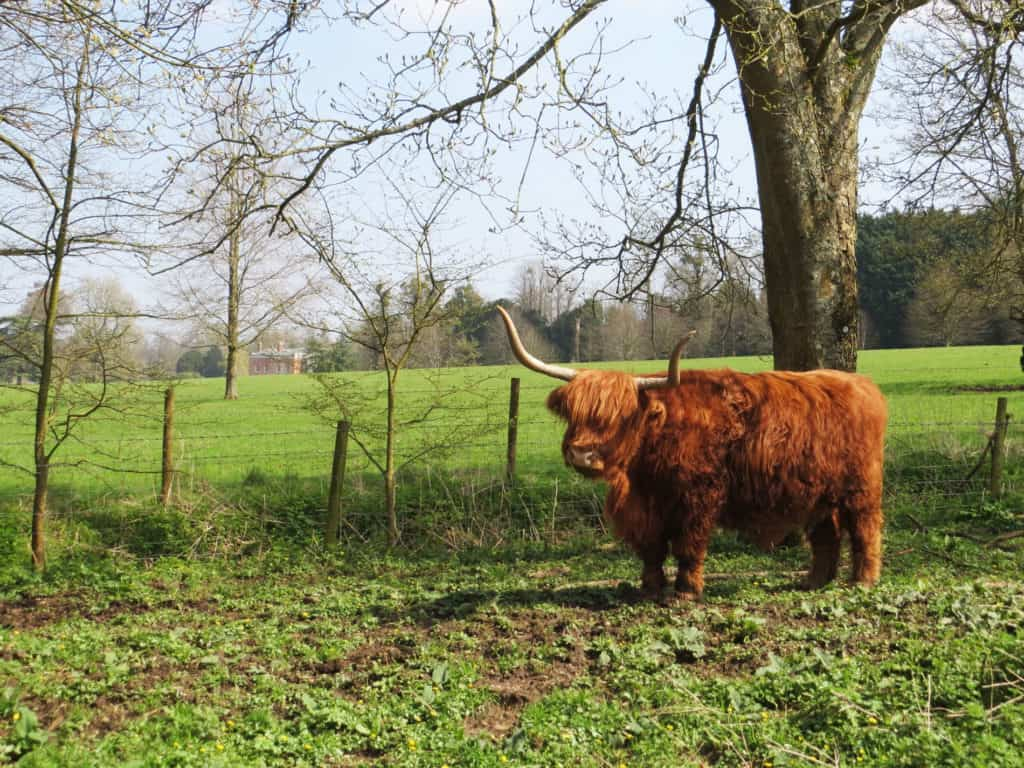 Longhorn_Highland_Cow,_Avington_Park_3394