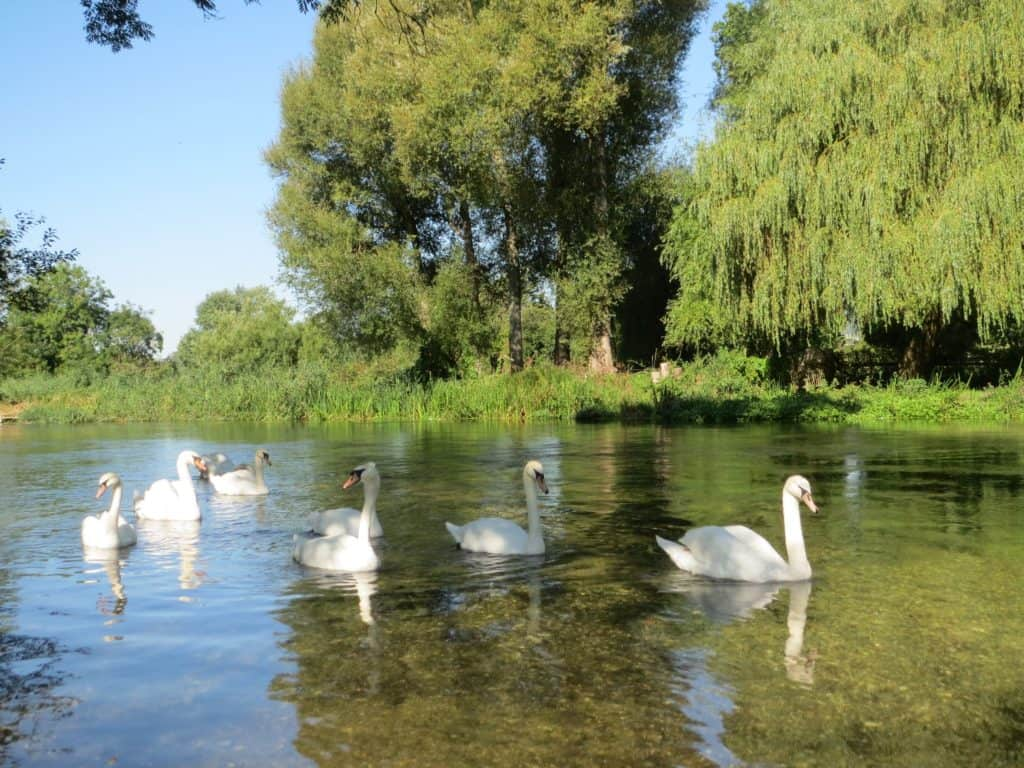 Swans-at-Chillandham-bridge