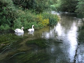 Swans_on_the_River_Itchen_3170